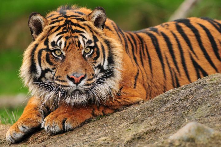 Sumatran crouching tiger
